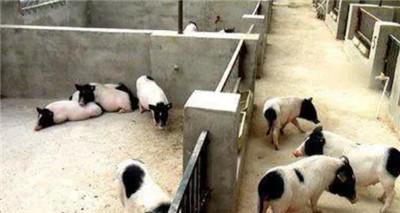 香猪养殖加盟